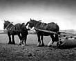 Working farm horses, Wirral, 1930s
